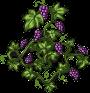 grape-plant-adult.png