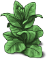 tobacco-plant-adult.png