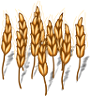 wheat-plant-adult.png